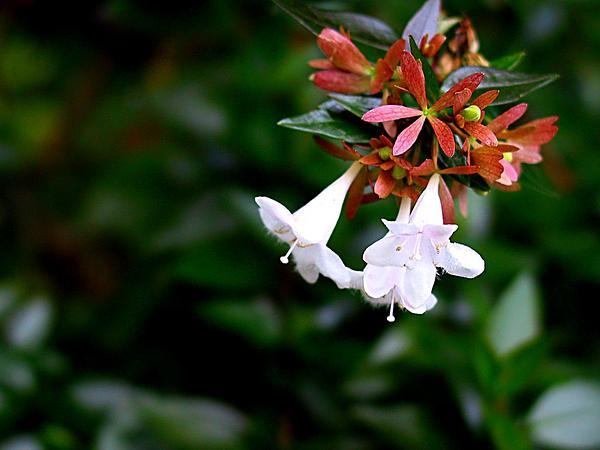 Abelia (Abelia) http://www.sagebud.com/abelia-abelia