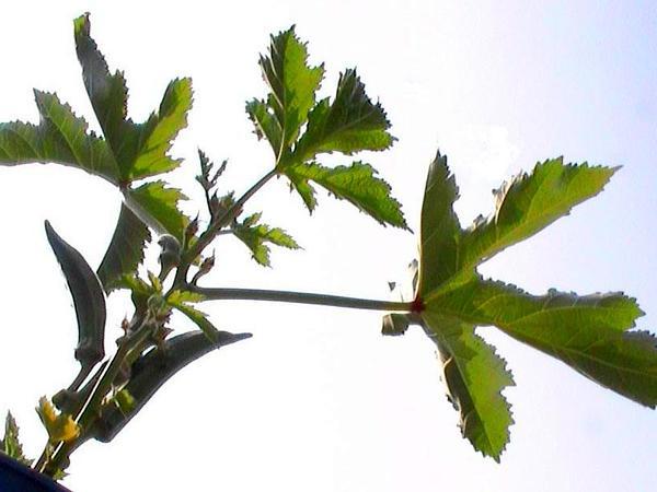 Okra (Abelmoschus) http://www.sagebud.com/okra-abelmoschus