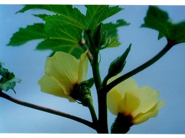 Okra (Abelmoschus Esculentus) http://www.sagebud.com/okra-abelmoschus-esculentus