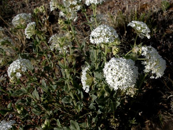 Snowball Sand Verbena (Abronia Fragrans) http://www.sagebud.com/snowball-sand-verbena-abronia-fragrans