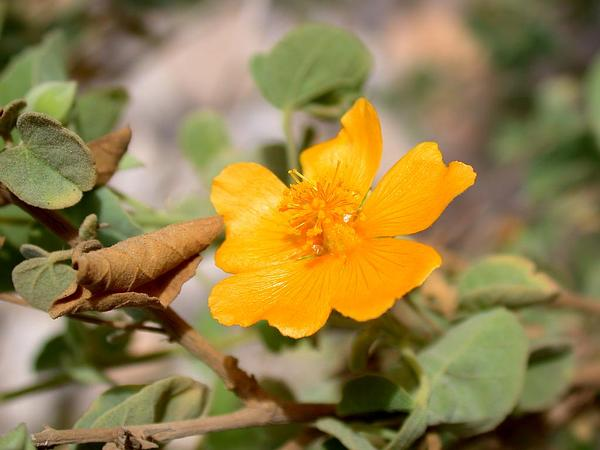 Texas Indian Mallow (Abutilon Fruticosum) http://www.sagebud.com/texas-indian-mallow-abutilon-fruticosum
