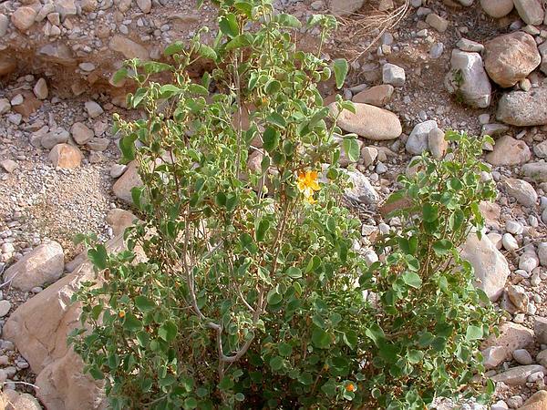 Texas Indian Mallow (Abutilon Fruticosum) http://www.sagebud.com/texas-indian-mallow-abutilon-fruticosum/