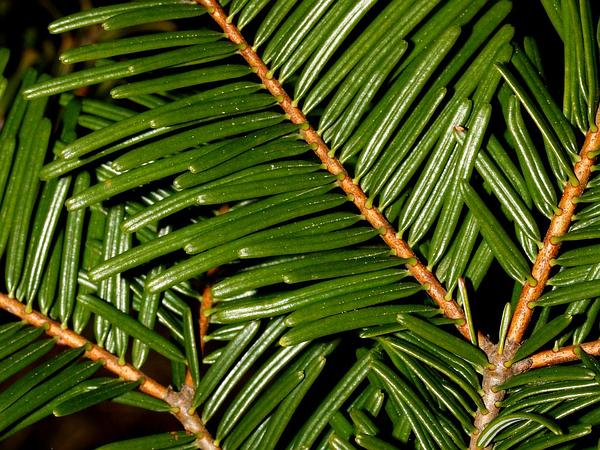 Grand Fir (Abies Grandis) http://www.sagebud.com/grand-fir-abies-grandis