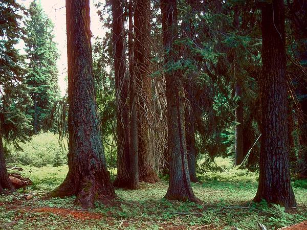Grand Fir (Abies Grandis) http://www.sagebud.com/grand-fir-abies-grandis