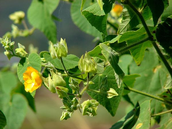 Hairy Indian Mallow (Abutilon Grandifolium) http://www.sagebud.com/hairy-indian-mallow-abutilon-grandifolium