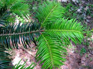 ABHO/Abies_homolepis2_300.jpg