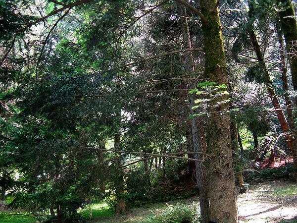 Nikko Fir (Abies Homolepis) http://www.sagebud.com/nikko-fir-abies-homolepis