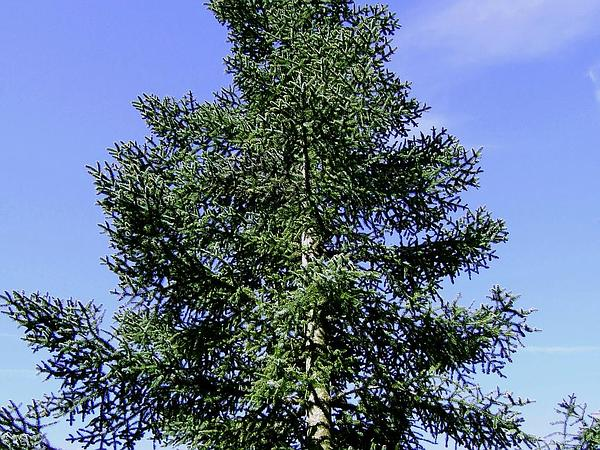 Fir (Abies) http://www.sagebud.com/fir-abies