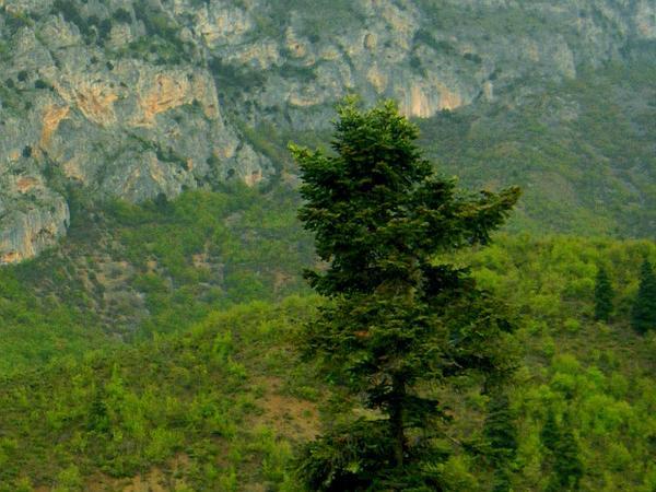 Fir (Abies) http://www.sagebud.com/fir-abies
