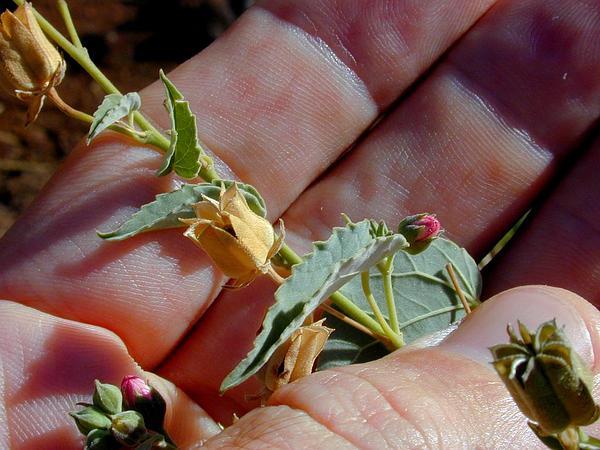 Pelotazo (Abutilon Incanum) http://www.sagebud.com/pelotazo-abutilon-incanum