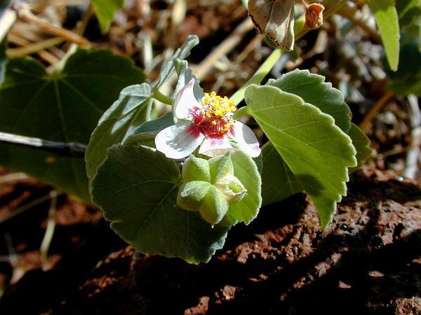 Pelotazo (Abutilon Incanum) http://www.sagebud.com/pelotazo-abutilon-incanum/