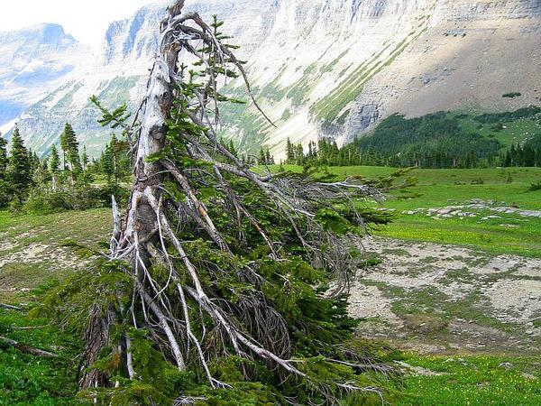 Subalpine Fir (Abies Lasiocarpa) http://www.sagebud.com/subalpine-fir-abies-lasiocarpa