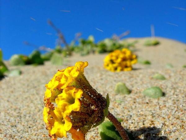 Coastal Sand Verbena (Abronia Latifolia) http://www.sagebud.com/coastal-sand-verbena-abronia-latifolia/