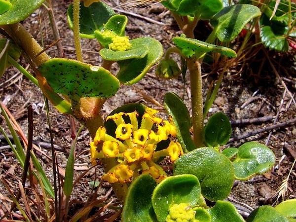 Coastal Sand Verbena (Abronia Latifolia) http://www.sagebud.com/coastal-sand-verbena-abronia-latifolia