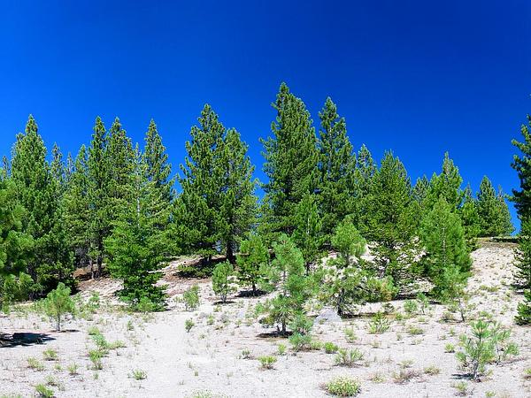 California Red Fir (Abies Magnifica) http://www.sagebud.com/california-red-fir-abies-magnifica