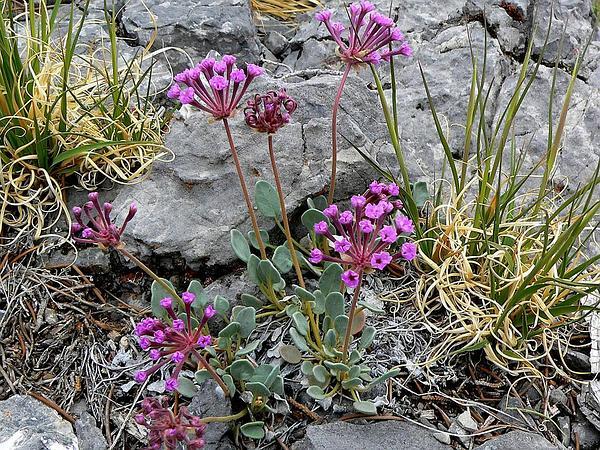 Dwarf Sand Verbena (Abronia Nana) http://www.sagebud.com/dwarf-sand-verbena-abronia-nana/