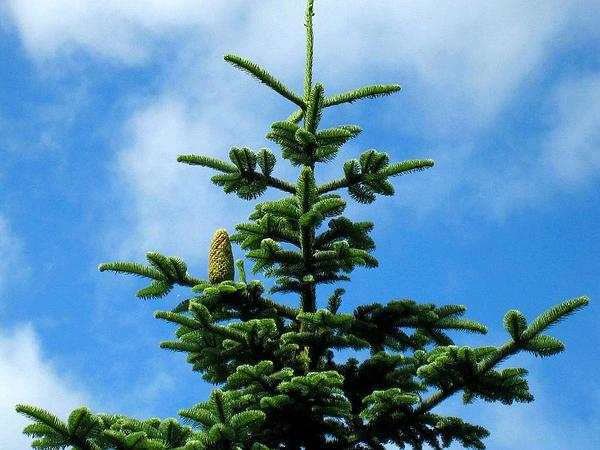 Noble Fir (Abies Procera) http://www.sagebud.com/noble-fir-abies-procera