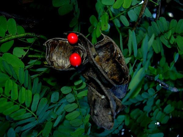 Rosarypea (Abrus Precatorius) http://www.sagebud.com/rosarypea-abrus-precatorius/