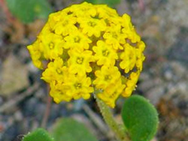 Sand Verbena (Abronia) http://www.sagebud.com/sand-verbena-abronia