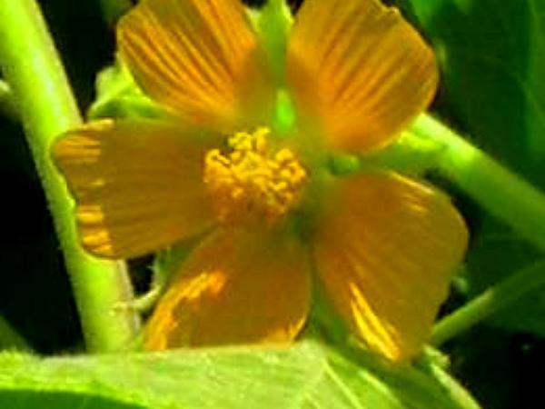 Velvetleaf (Abutilon Theophrasti) http://www.sagebud.com/velvetleaf-abutilon-theophrasti/