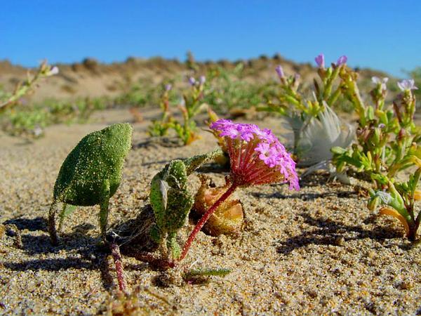 Pink Sand Verbena (Abronia Umbellata) http://www.sagebud.com/pink-sand-verbena-abronia-umbellata