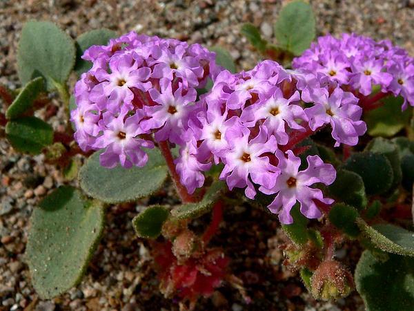 Desert Sand Verbena (Abronia Villosa) http://www.sagebud.com/desert-sand-verbena-abronia-villosa