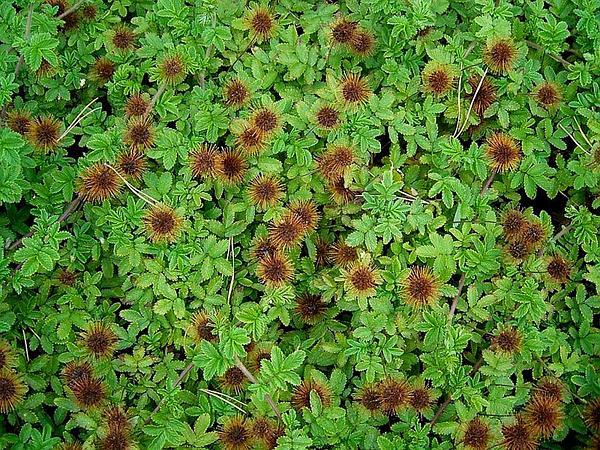 Acaena (Acaena) http://www.sagebud.com/acaena-acaena