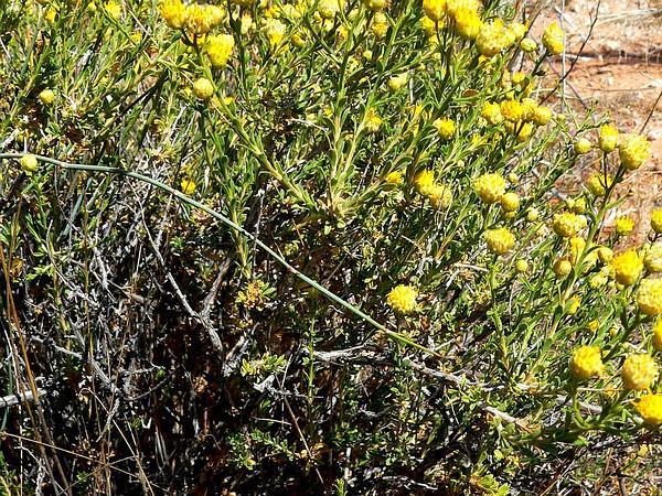 Goldenhead (Acamptopappus) http://www.sagebud.com/goldenhead-acamptopappus/