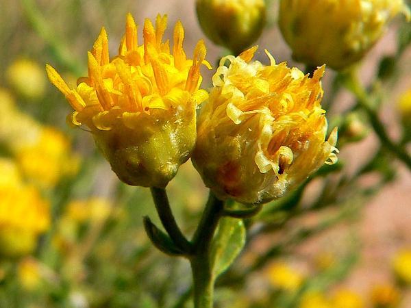 Goldenhead (Acamptopappus) http://www.sagebud.com/goldenhead-acamptopappus