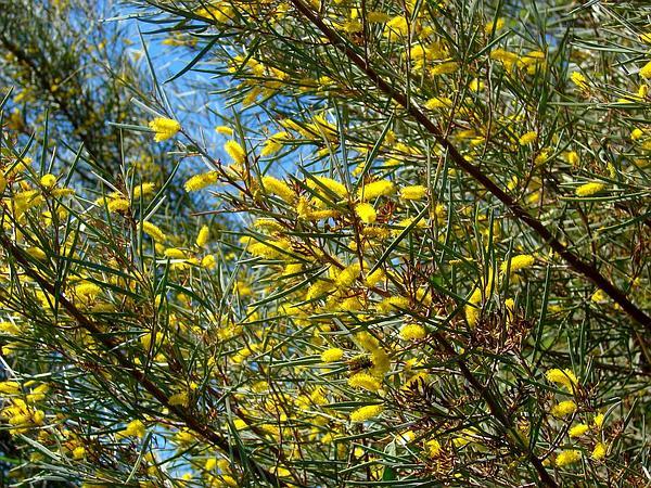 Mulga (Acacia Aneura) http://www.sagebud.com/mulga-acacia-aneura