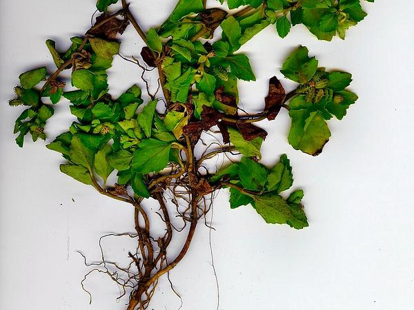 Starbur (Acanthospermum) http://www.sagebud.com/starbur-acanthospermum/
