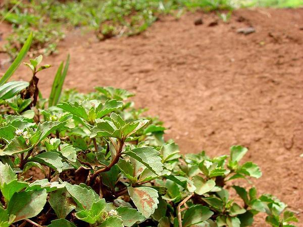 Starbur (Acanthospermum) http://www.sagebud.com/starbur-acanthospermum