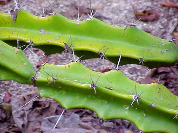 Triangle Cactus (Acanthocereus) http://www.sagebud.com/triangle-cactus-acanthocereus