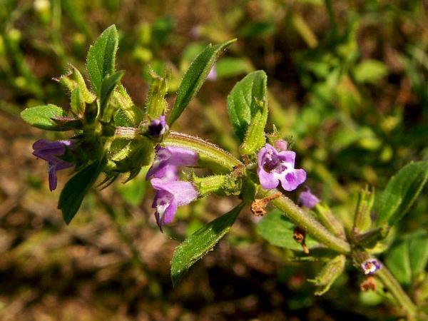 Basil Thyme (Acinos Arvensis) http://www.sagebud.com/basil-thyme-acinos-arvensis/