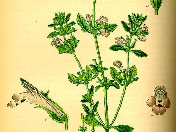 Basil Thyme (Acinos Arvensis) http://www.sagebud.com/basil-thyme-acinos-arvensis