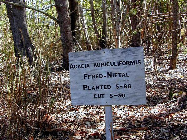 Earleaf Acacia (Acacia Auriculiformis) http://www.sagebud.com/earleaf-acacia-acacia-auriculiformis
