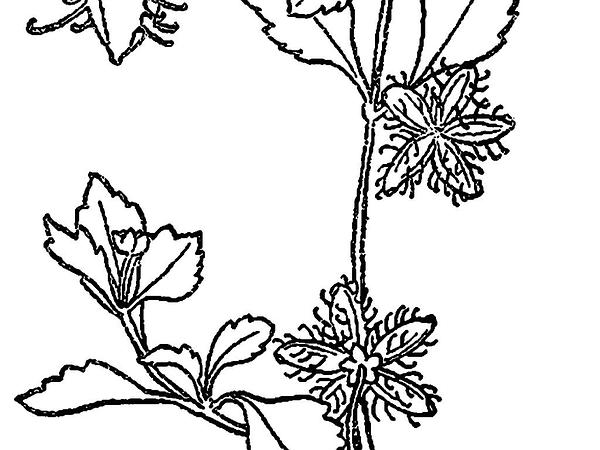 Paraguayan Starbur (Acanthospermum Australe) http://www.sagebud.com/paraguayan-starbur-acanthospermum-australe/