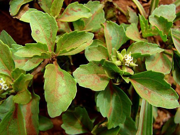 Paraguayan Starbur (Acanthospermum Australe) http://www.sagebud.com/paraguayan-starbur-acanthospermum-australe