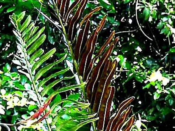 Golden Leatherfern (Acrostichum Aureum) http://www.sagebud.com/golden-leatherfern-acrostichum-aureum/