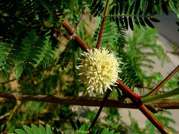 Guajillo (Acacia Berlandieri) http://www.sagebud.com/guajillo-acacia-berlandieri