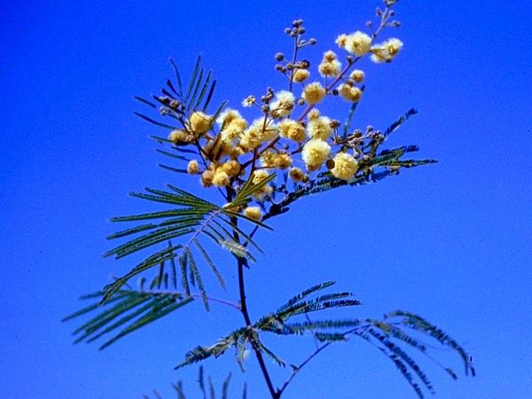 Guajillo (Acacia Berlandieri) http://www.sagebud.com/guajillo-acacia-berlandieri/