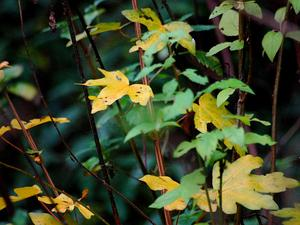 Hedge Maple
