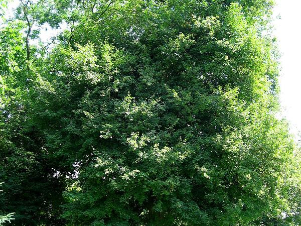 Hedge Maple (Acer Campestre) http://www.sagebud.com/hedge-maple-acer-campestre/