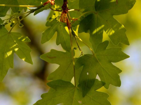 Hedge Maple (Acer Campestre) http://www.sagebud.com/hedge-maple-acer-campestre