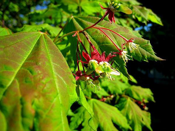 Vine Maple (Acer Circinatum) http://www.sagebud.com/vine-maple-acer-circinatum