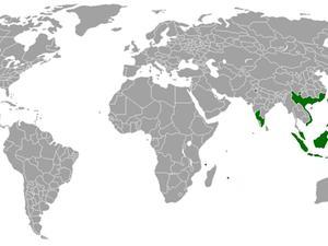 Small Philippine Acacia