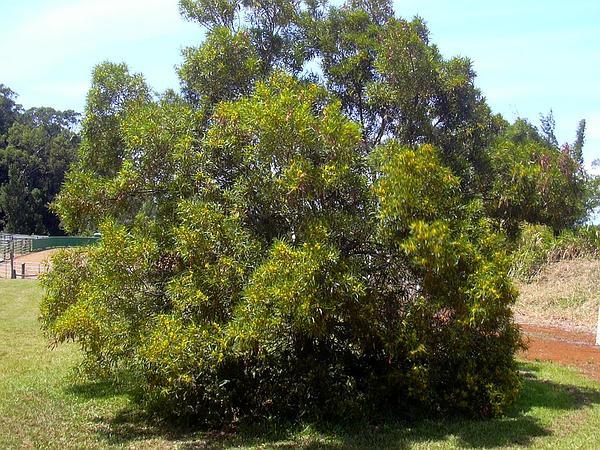 Small Philippine Acacia (Acacia Confusa) http://www.sagebud.com/small-philippine-acacia-acacia-confusa