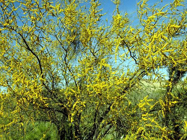 Whitethorn Acacia (Acacia Constricta) http://www.sagebud.com/whitethorn-acacia-acacia-constricta