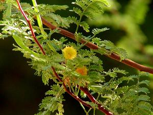 Whitethorn Acacia
