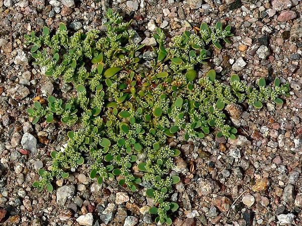 Onyxflower (Achyronychia Cooperi) http://www.sagebud.com/onyxflower-achyronychia-cooperi